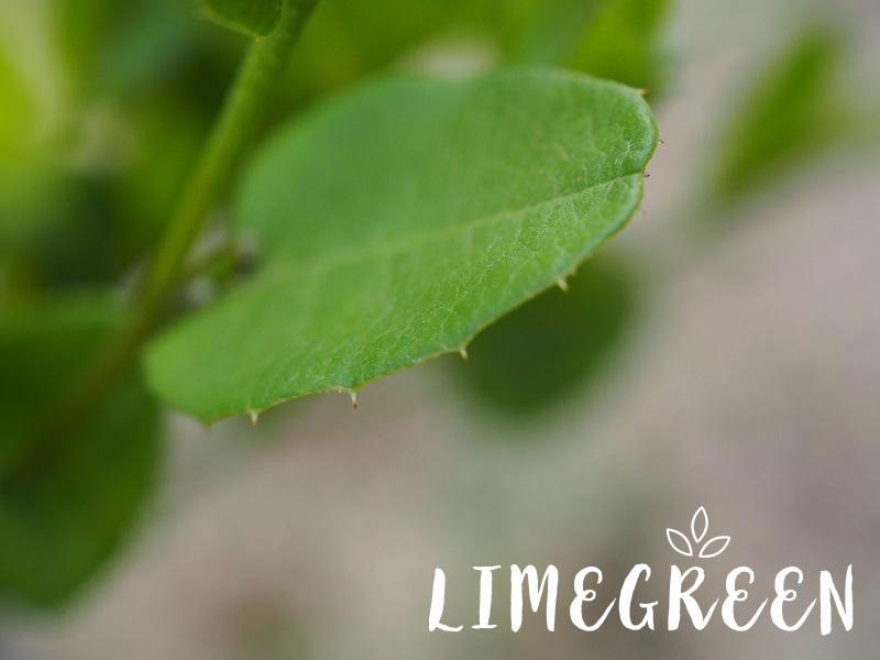 コリゼマ・コルダタム(ヒイラギマメ)の葉