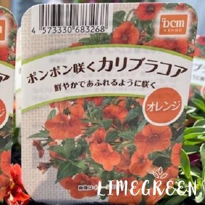 ポンポン咲くカリブラコアオレンジ