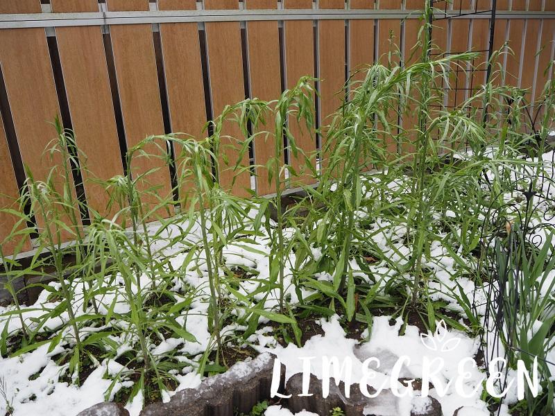 雪で弱ったヤグルマソウ