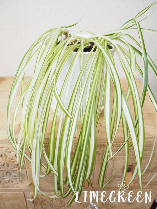ダイソーの植木鉢とオリヅルラン