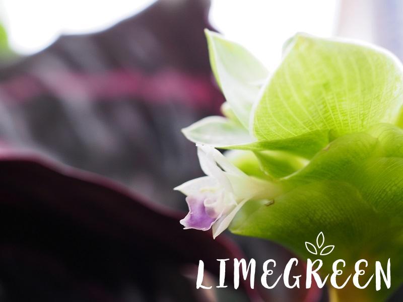 カラテア・ドッティの花