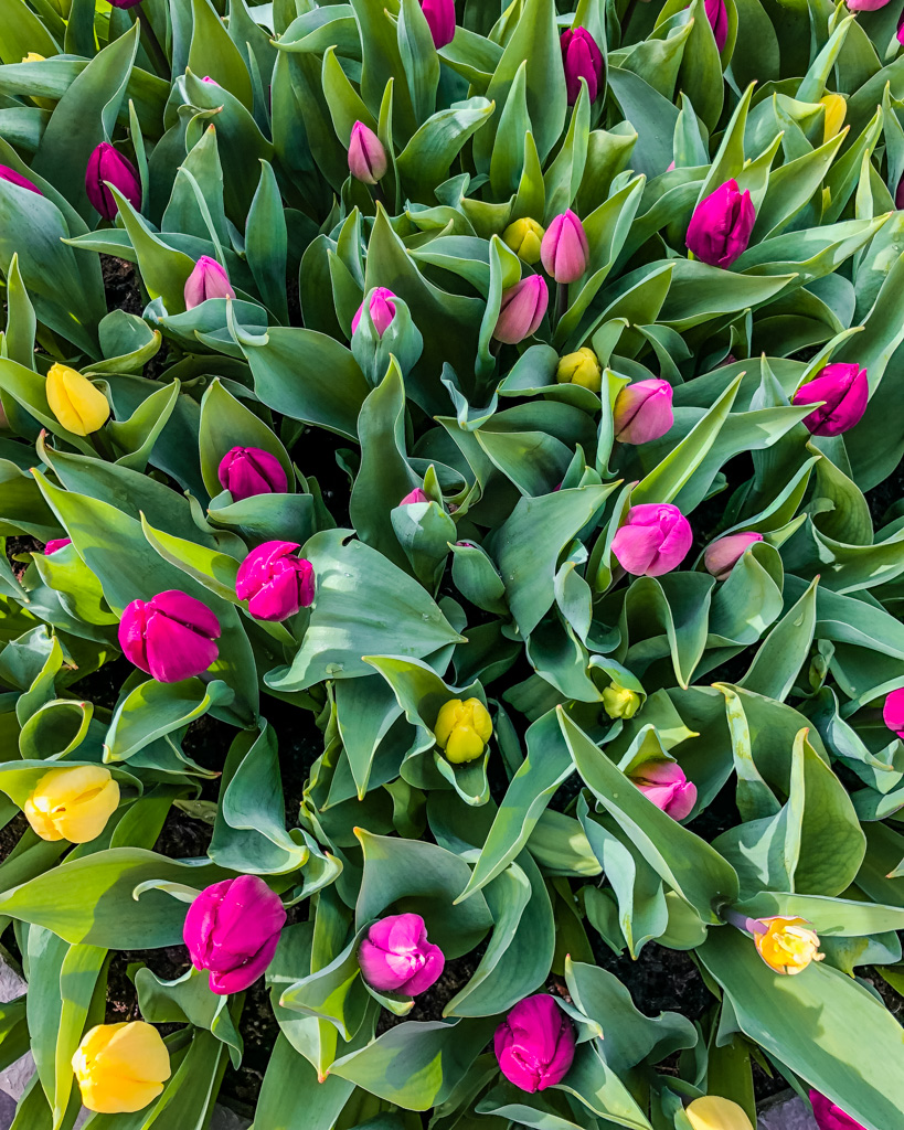 Tulips at the Flower Market Amsterdam - the Netherlands