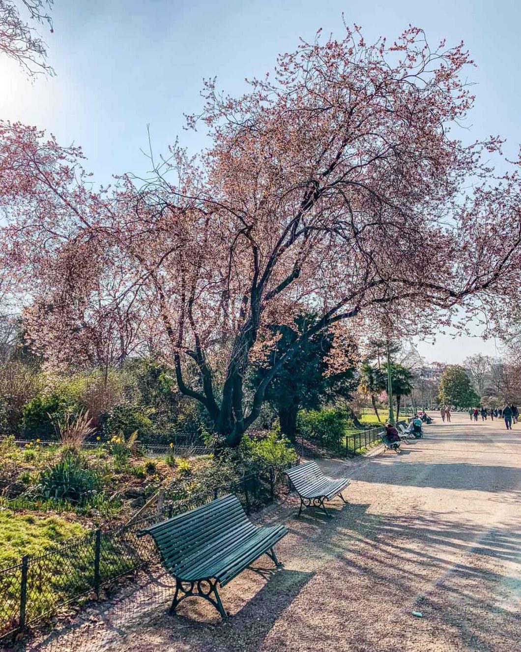 Plum blossoms in the Parc Monceau - Paris