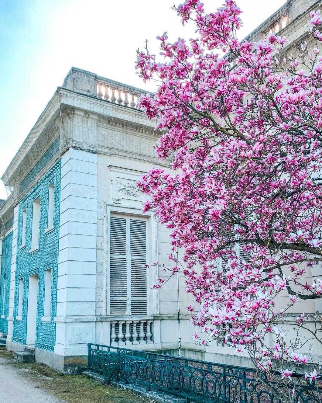 Magnolias in Parc de Bagatelle - Paris