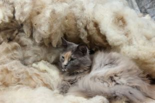 Cat in Sheep's Clothing