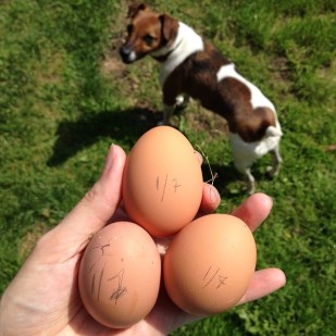 Three Eggs and A Dog