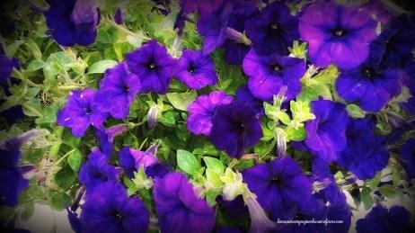 Le parfum des petunias