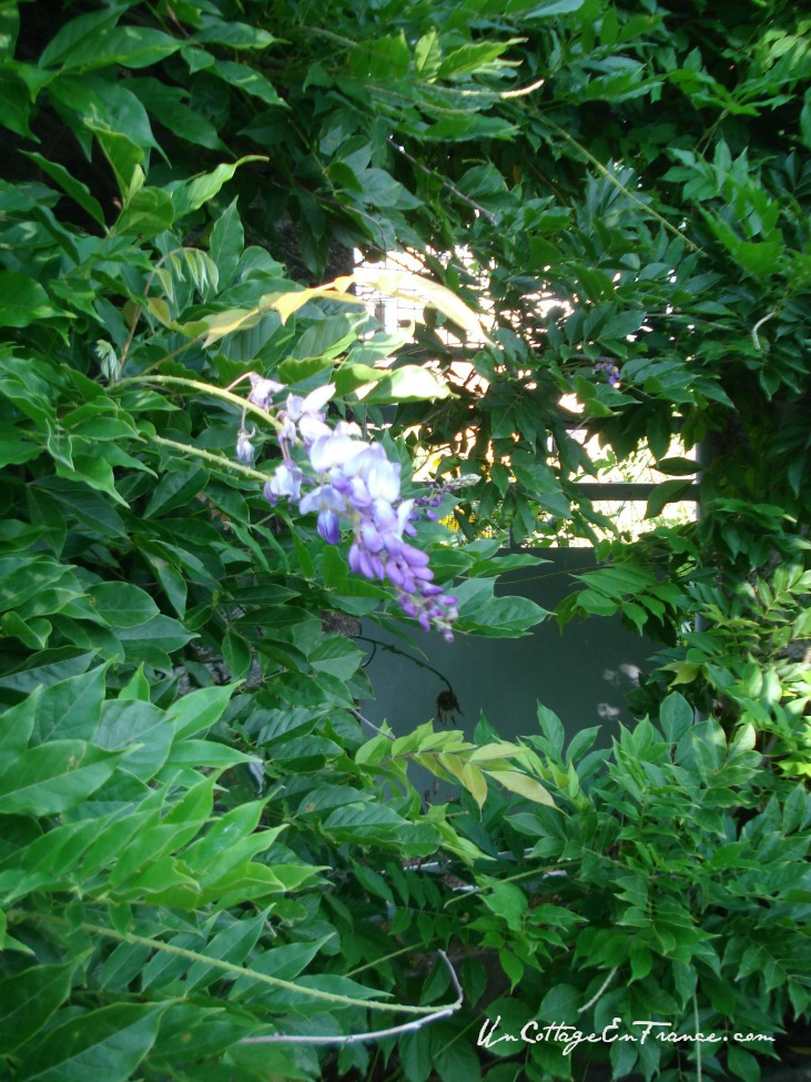 Glycine bleue - Blue wisteria