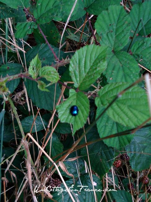 scarabée bleu - blue beetle
