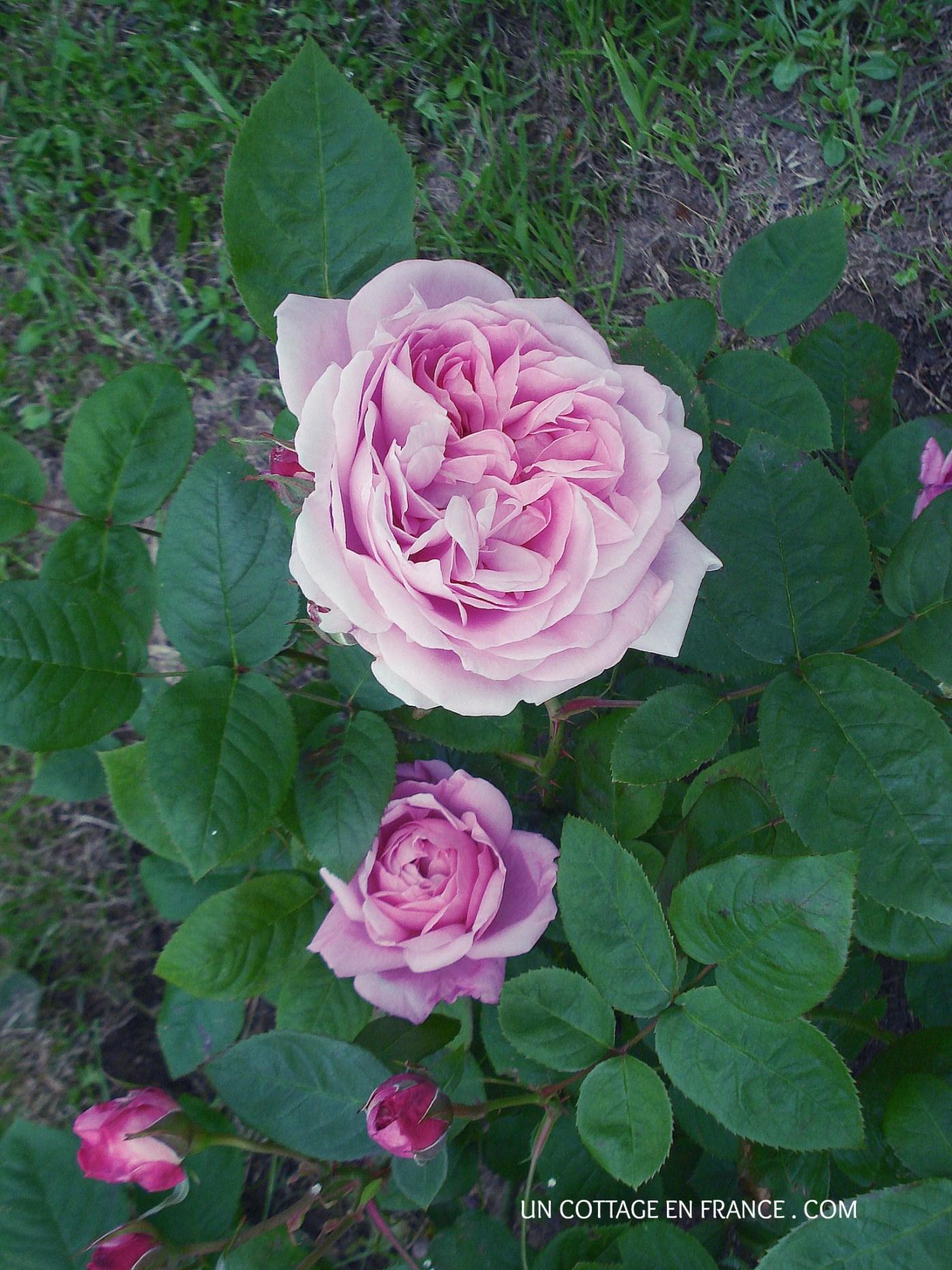 Mary Rose de David Austin au jardin du cottage