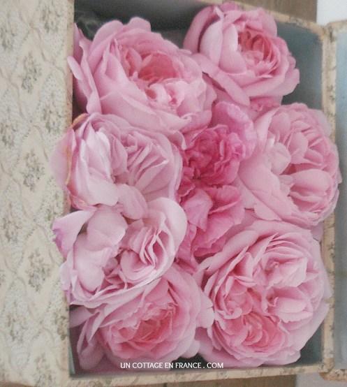 Mary Rose de David Austin
