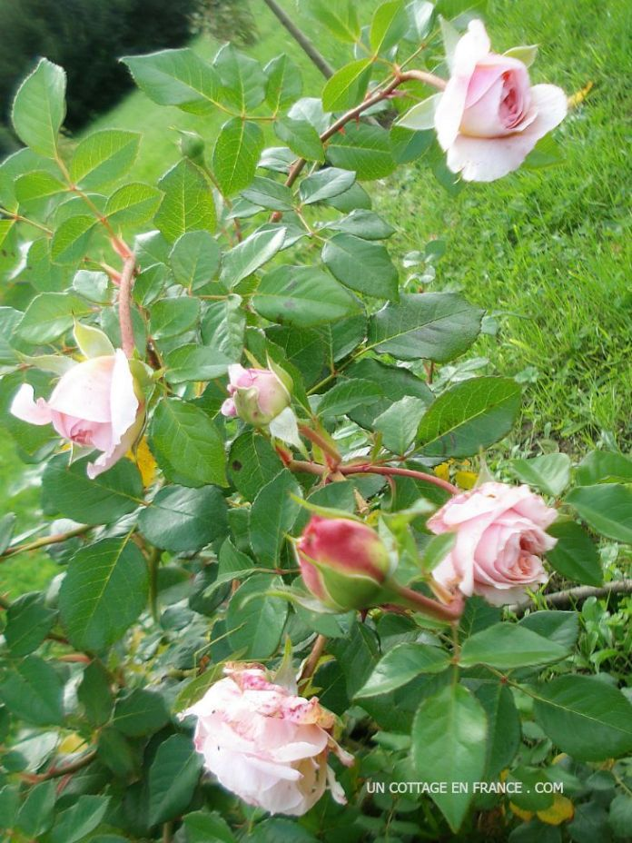 bourgeons de roses