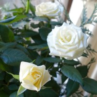 Ambiance en BRUN, VERT & BLANC avec des roses blanches (A white, green & brown ambiance with white roses)