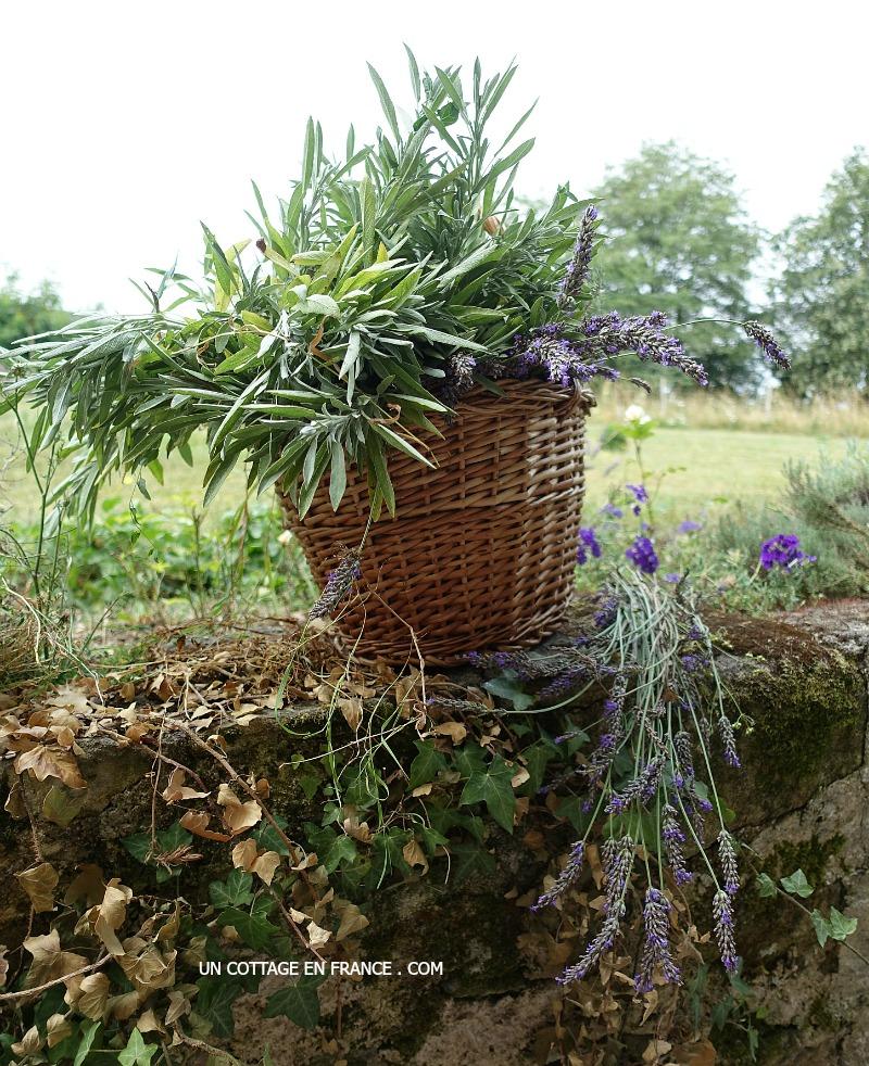 Récolte de lavande au jardin