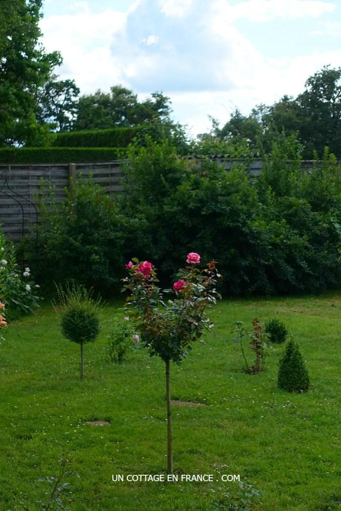 Rosier tige Brocéliande, Blog maison et jardin