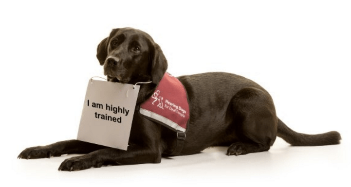 Deaf News 70 Of Deaf People With Hearing Dogs Have Been