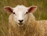 Graphic images: Farmer sentenced for causing unnecessary suffering to sheep