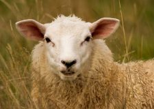 Sheep killed in savage dog attack in Croxby