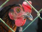 Plans for new poultry unit housing 400k birds criticised by residents and MP