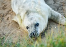Seal pups steal hearts at Donna Nook