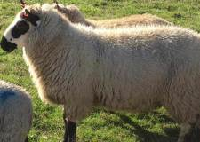 Sheep stolen as local field targeted again