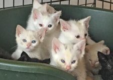 Influx of unwanted kittens at cat charity's local branch