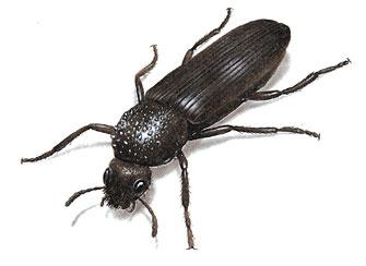 Bostrichid (True Powderpost) Beetle