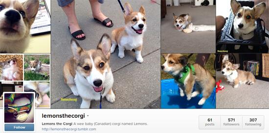 Edmonton Instagram - Lemons the Corgi