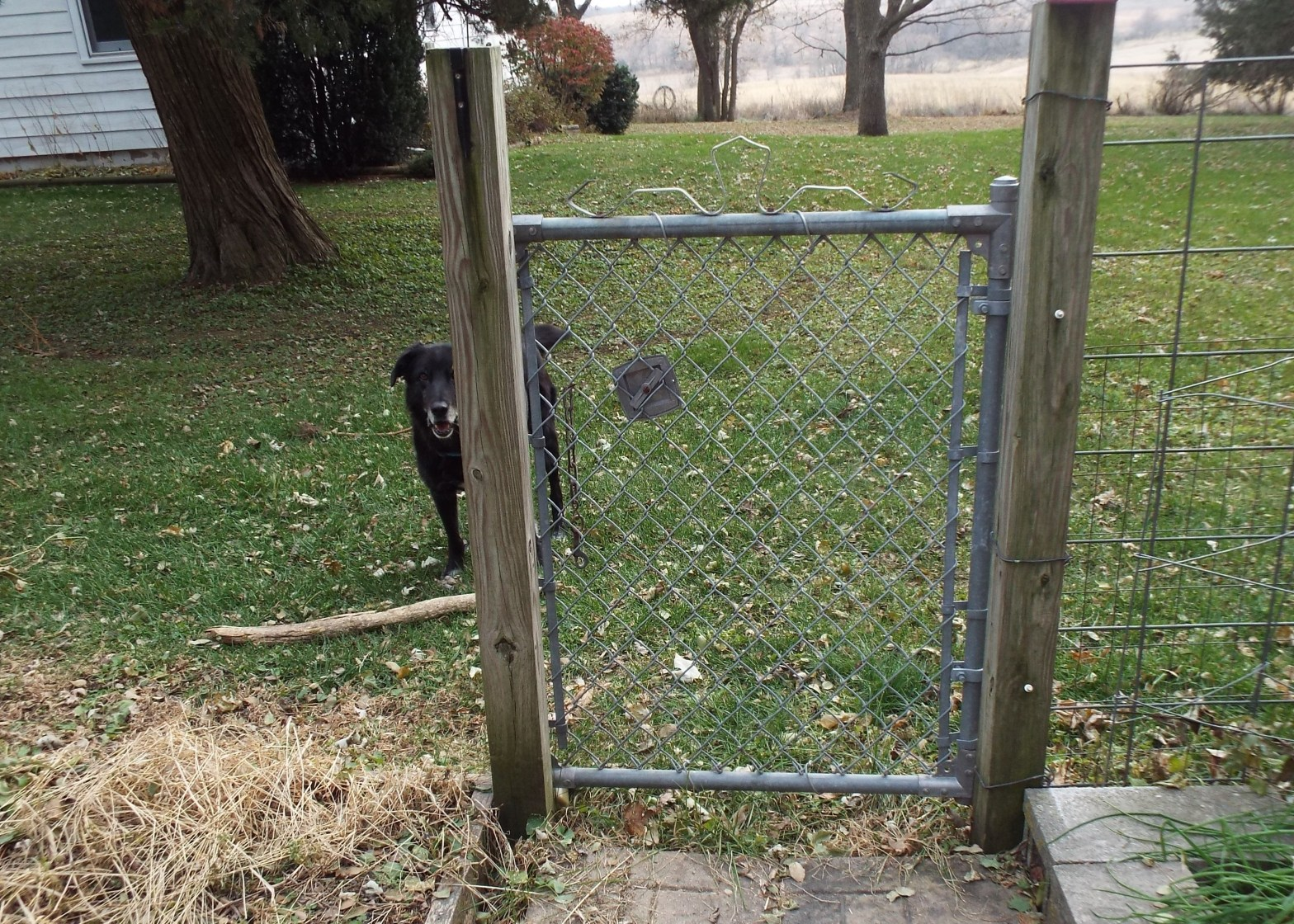 photo of a gate with no fence, a dog peers past the gate where there is no fence