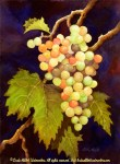 """Still Life paintings : On the Vine, Watercolor still life painting of a cluster of grapes on the vine by Linda Abblett. Original 11"""" x 15"""" $700; giclee same size as original $75"""