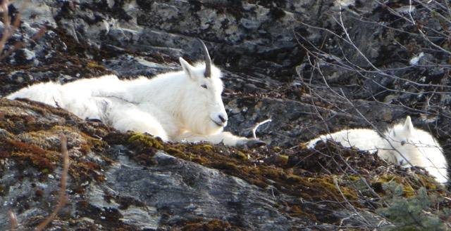 Mama mountain goat