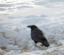 LINDA COTE-Crow in Snow