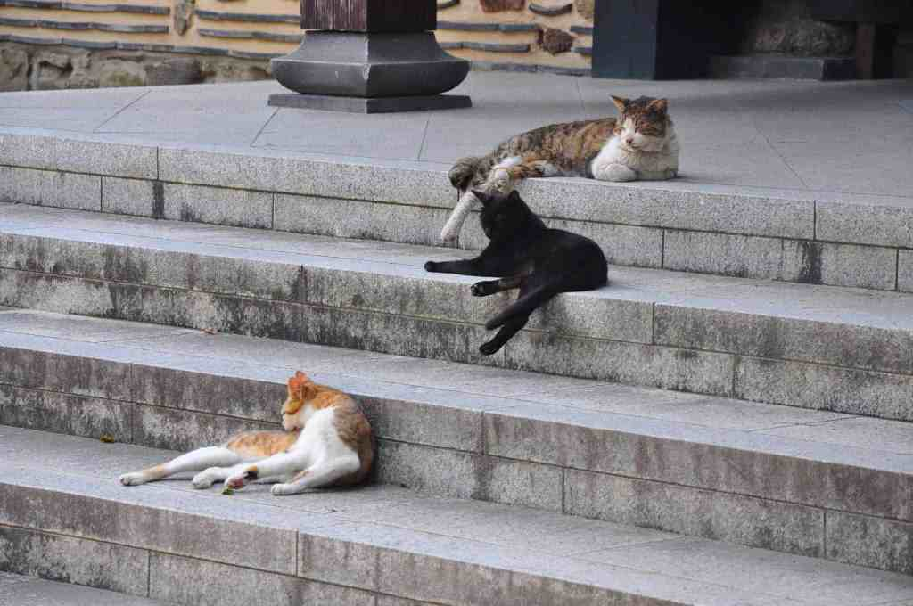 temple cats at