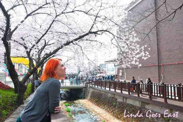 Jinhae Cherry Blossom | Linda Goes East