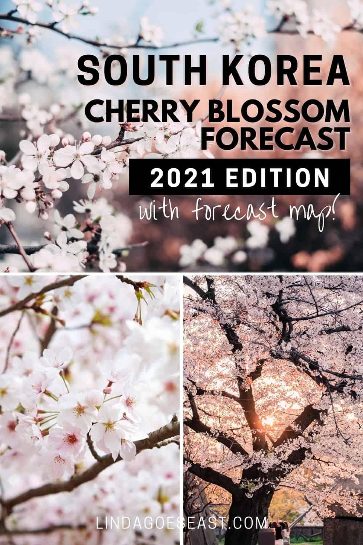 2021 Korea Cherry Blossoms