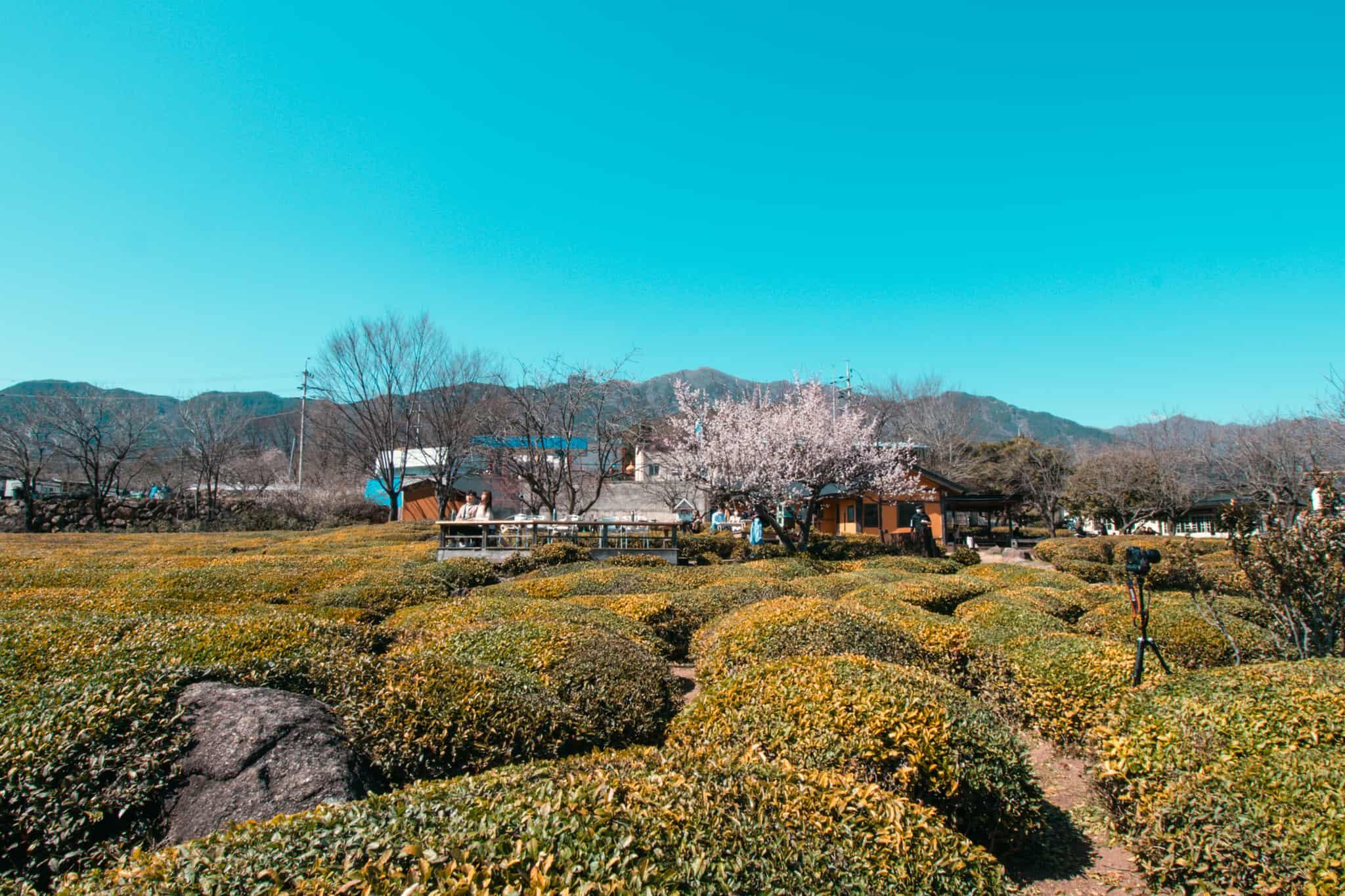 Tea Plantation in Hadong, Korea