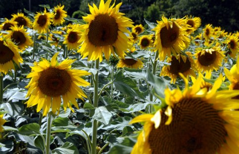 sunflowers-20.JPG