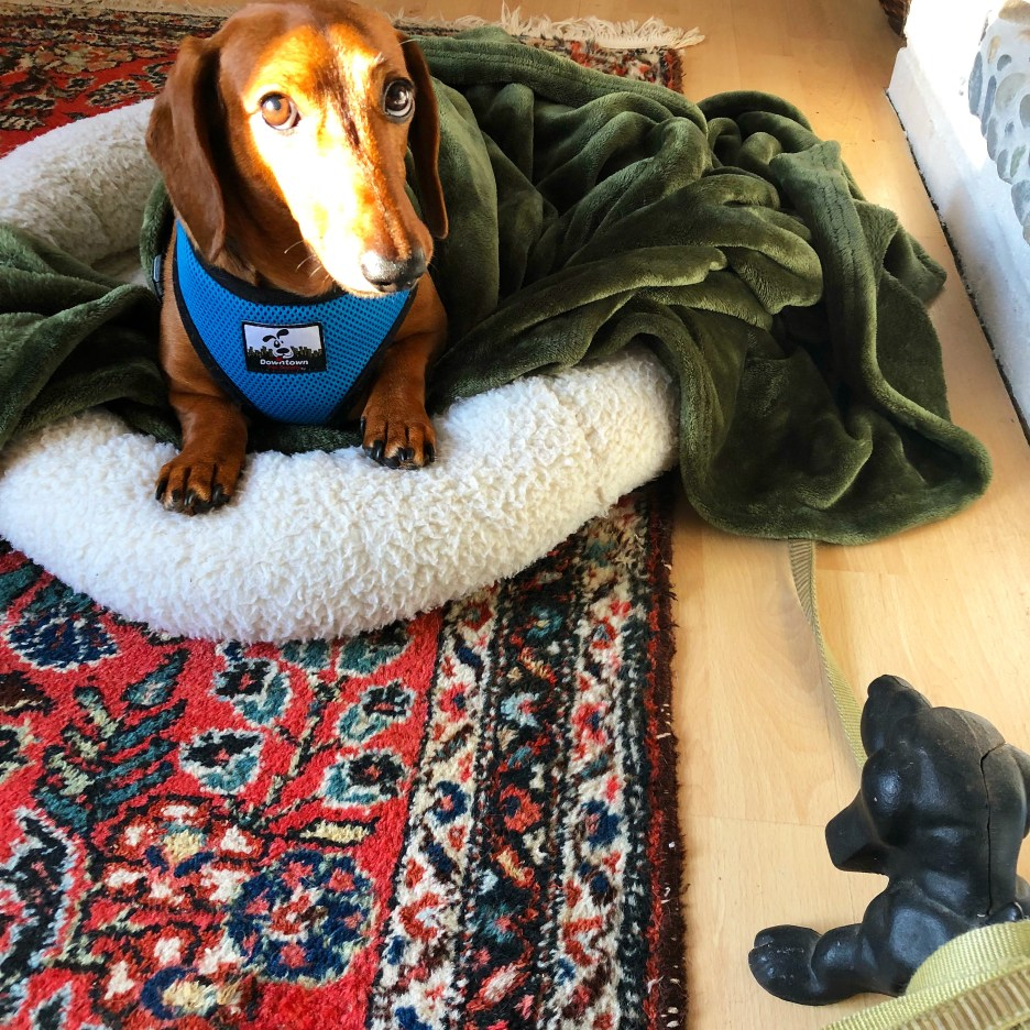 RoyRoy Merrill, red short-haired dachshund in dog bed, suffering from IVDD, gifts for dogs