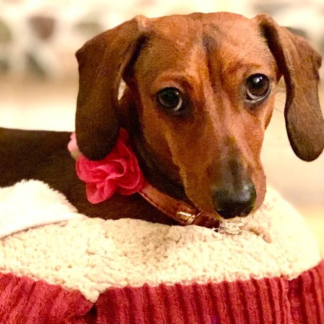 Sansa mini dachshund