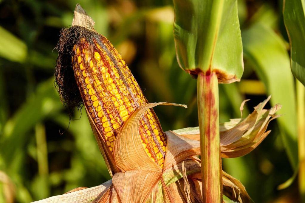 corn, food, field