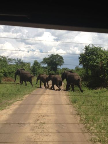 Elephants crossing the road ride behind our car