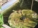 Pond & Frog