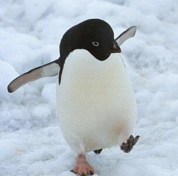 pingvin på glattisen