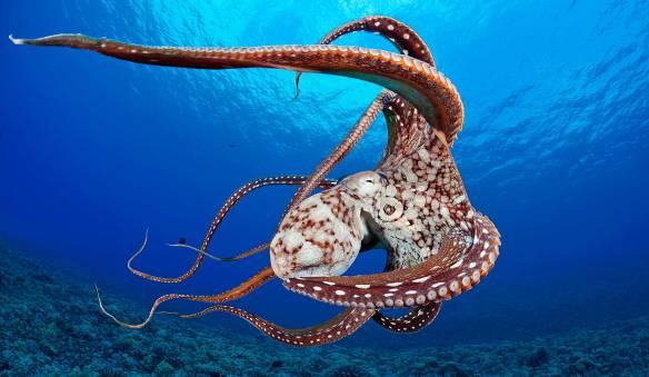 monterey bay blekksprut
