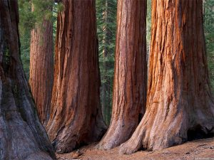 store trær Yosemite
