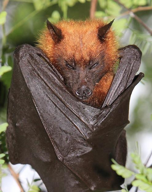 fox bats