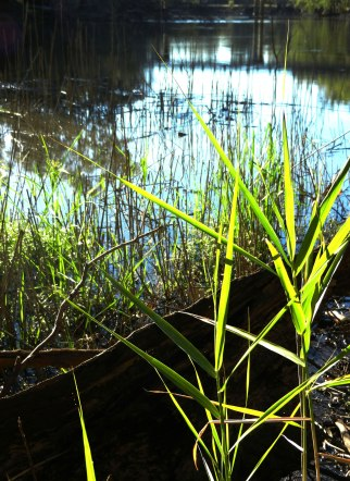 barmah-reeds