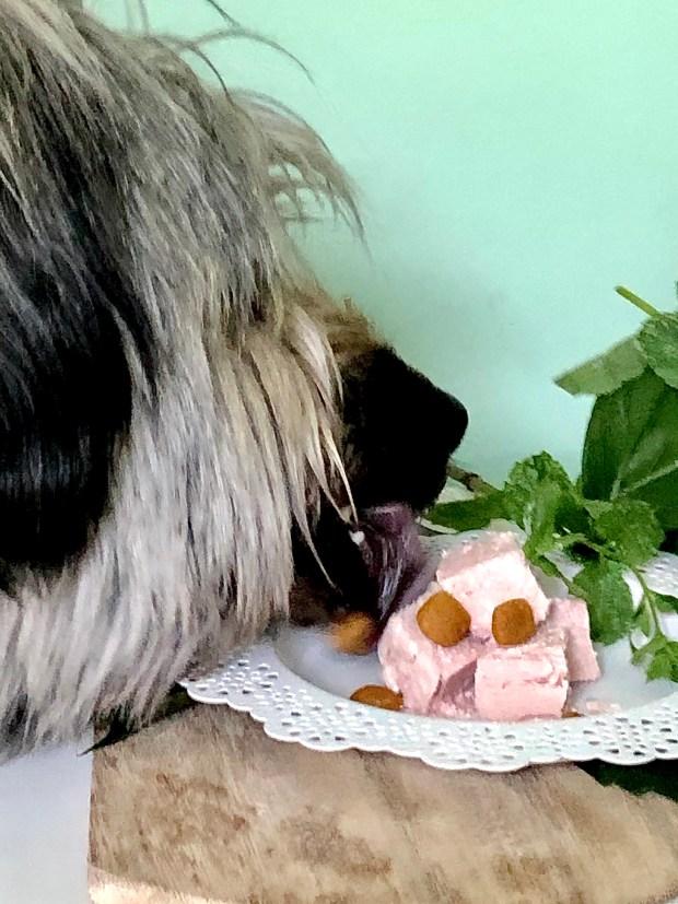Ein Gos d'Atura frisst Lwberwurst-Eis von einem wrißen Teller