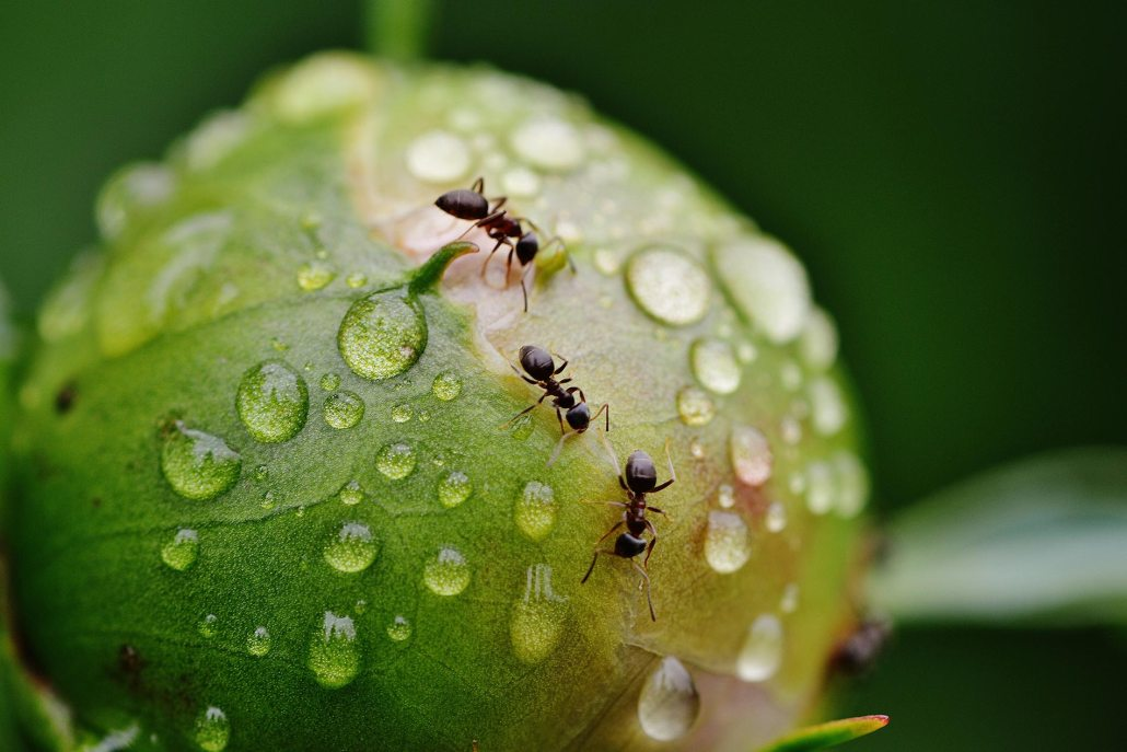 Ants on peony, Tacoma-based and family-owned pest control and inspection company