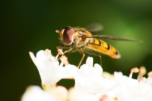 Wasp on flower, Lind Pest Control